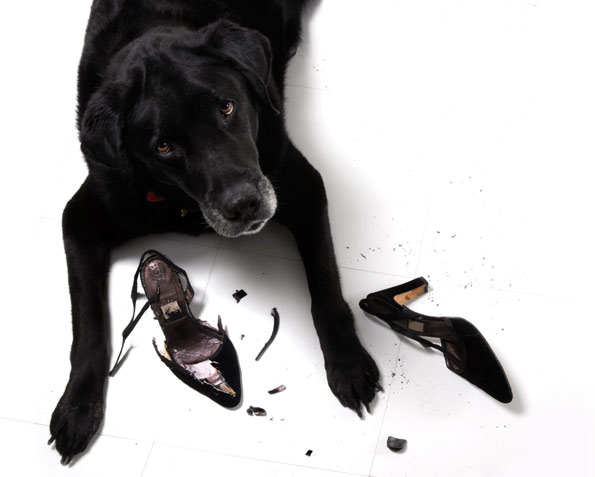 black dog chewed up a high heel