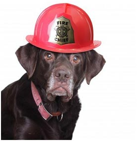 dog wearing a fire marshals hat