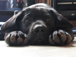 sad black puppy laying on the ground